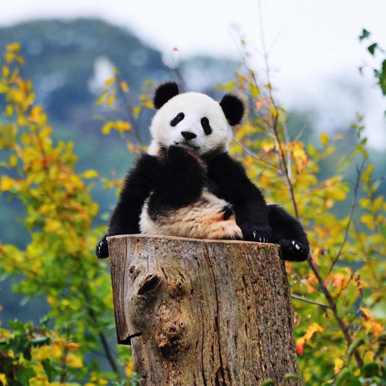 壁纸 大熊猫 动物 狗 狗狗 1280_1280
